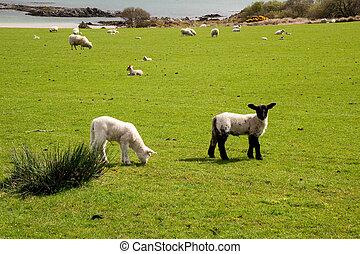 Islay sheep