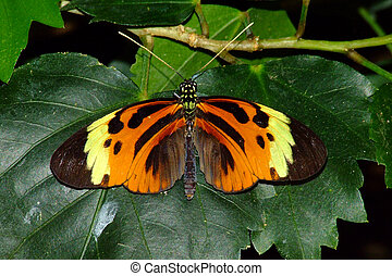 Ismenius Longwing Butterfly - An Ismenius Longwing butterfly...