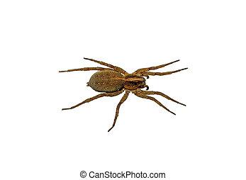 isolé, arrière-plan brun, araignés, grand, blanc