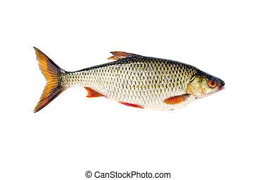 fish apr s isol peche gardon blanc fish apr s photos de stock rechercher des. Black Bedroom Furniture Sets. Home Design Ideas