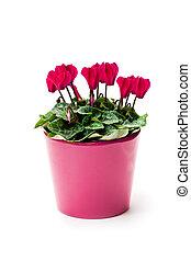 isolé, blanc, pot fleurs, fleur, cyclamen