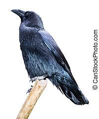 isolé, branche, corbeau