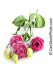 isolé, fleurs roses