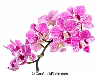isolé, fond blanc, rose, branche, orchidées