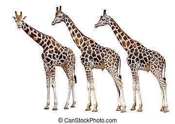 isolé, girafes