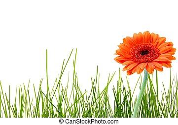 isolé, herbe, et, fleur