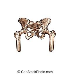 isolé, osseux, squelette, ou, pelvien, humain, bassin