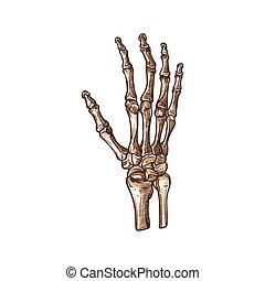isolé, poignet, main, squelette, carpien, os, humain