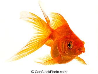 isolé, poisson rouge, approchant
