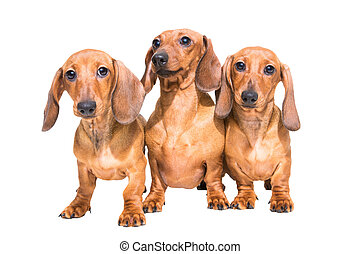 isolé, teckel, trois, blanc, chiens, rouges