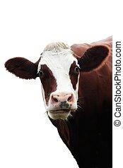 isolé, vache