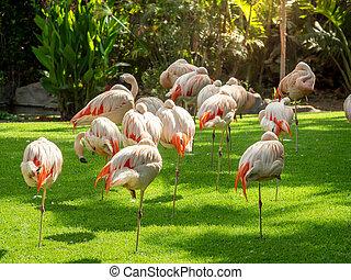 isola, bello, rosa, immagine, loro, erba, parque, zoo, prato, tenerife, uccelli, gregge, fiammeggiante