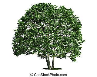 isolado, árvore, branco, alder, (alnus)