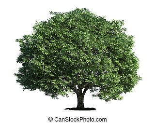 isolado, árvore, branco, fenda, salgueiro, (salix, fragilis)