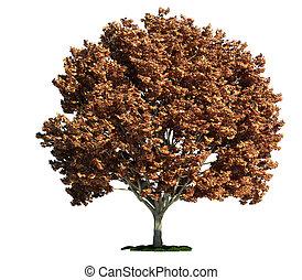 isolado, árvore, branco, maple, (acer)