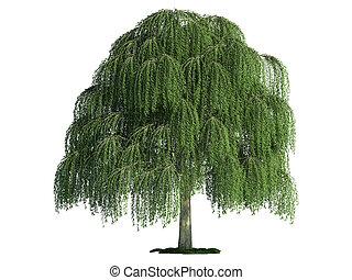 isolado, árvore, branco, salgueiro, (salix)