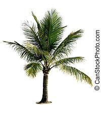 isolado, árvore palma