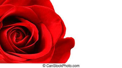 isolado, bonito, rosa vermelha, branca