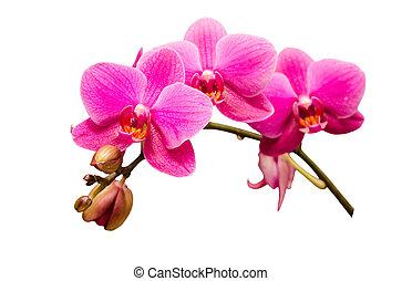 isolado, branco, único, ramo, de, roxo, orquídea, flor