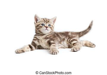 isolado, britânico, marmoreal, bonito, gatinho, branca,...