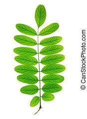 isolado, folha verde