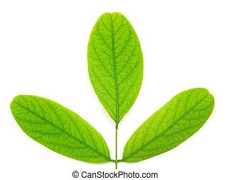 isolado, folha verde, de, árvore.