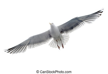 isolado, gaivota, ligado, a, fundo branco
