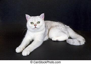 isolado, gato, experiência preta, branca, mentindo