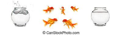isolado, goldfish, e, tigelas