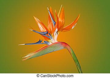 isolado, impressionante, pássaro paraíso, flor