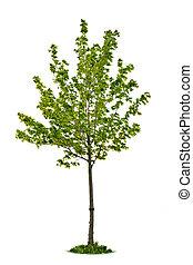 isolado, jovem, árvore maple