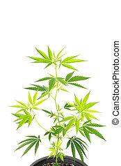 isolado, pote, experiência., branca, plástico, planta, marijuana