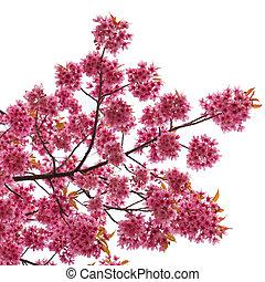 isolado, primavera, flores cereja, branco, fundo