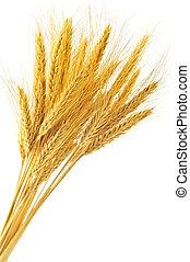 isolado, trigo, orelhas