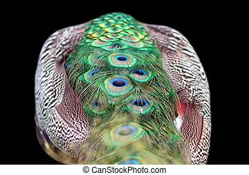 isolated abstract view of a peacock