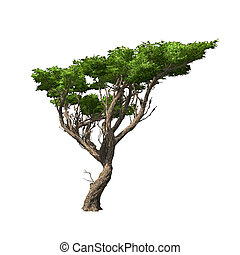 isolated., acacia, vecteur, arbre, illustration