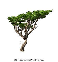 isolated., acacia, vector, árbol, ilustración