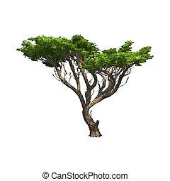 isolated., acacia, vettore, albero, illustrazione