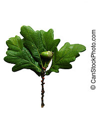Isolated Acorn and leaf