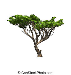 isolated., akacja, wektor, drzewo, ilustracja