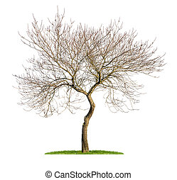 isolated almond tree in the winter