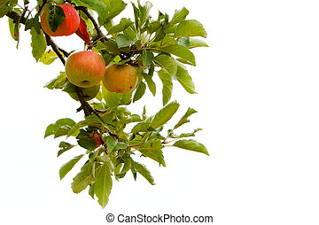 Isolated apple branch