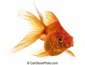 Isolated Approaching Goldfish swimming towards camera, close...