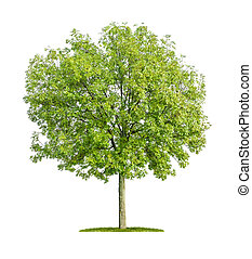 isolated ash tree on a white background
