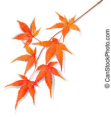 isolated autumn leaf with clipping path
