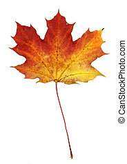 Isolated Autumn Maple Leaf