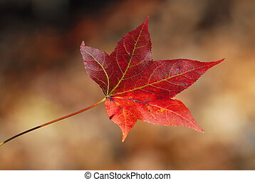 Autumn Maple leaf closeup