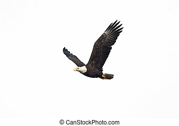 Isolated Bald Eagle - Bald Eagle (Haliaeetus leucocephalus)...