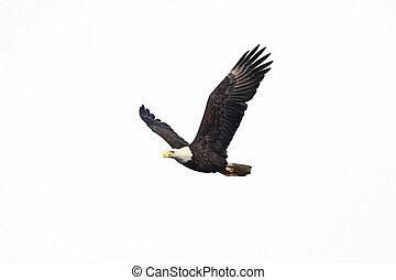 Isolated Bald Eagle - Bald Eagle (Haliaeetus leucocephalus)...