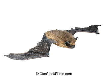 isolated bat with wings on white background